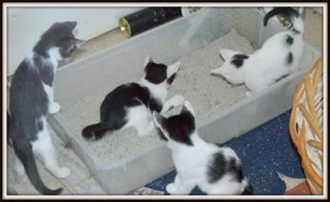 Choosing a Cat Litter black and white kittens