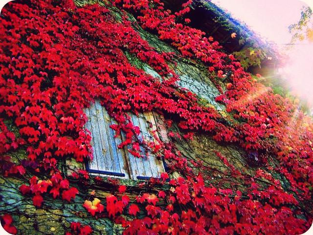 289/366...Vigne vierge d'automne...