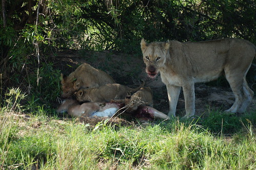 Lions at the kill