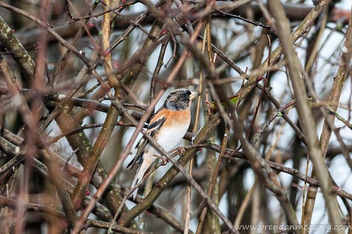 My paparazzi shot of the Brambling.