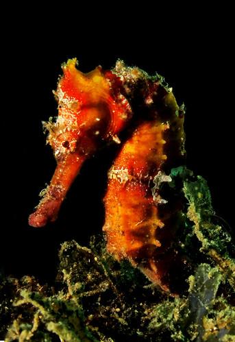 Hedgehog seahorse