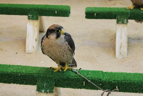 Falcons at souq waqif