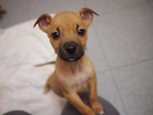 lab/pit mix puppies