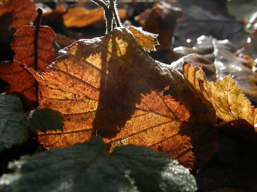 Back-lit leaf IV