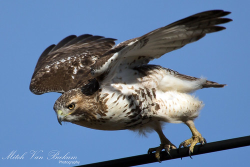 Prepare To Launch #1 - Red-Tailed Hawk
