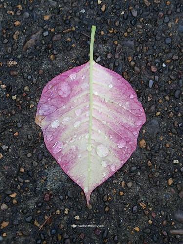 Fallen_Poinsettia