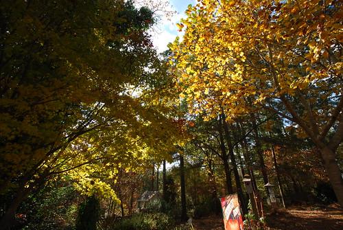 Poplar Tree Fall Colors