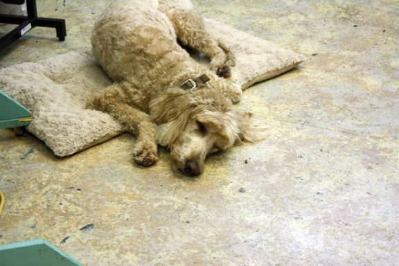 sleepy-goldendoodle