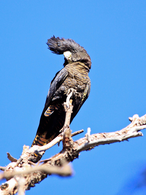 Young female Red-tailed Black Cockatoo (Calyptorhynchus banksii)