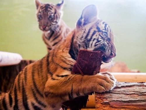 Tiger Cub (I)