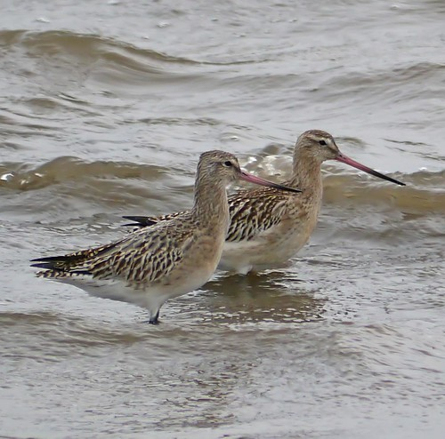 Bar Tailed Godwits-4