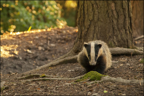 Badger, Forest of Dean by Ben Locke (Ben909)