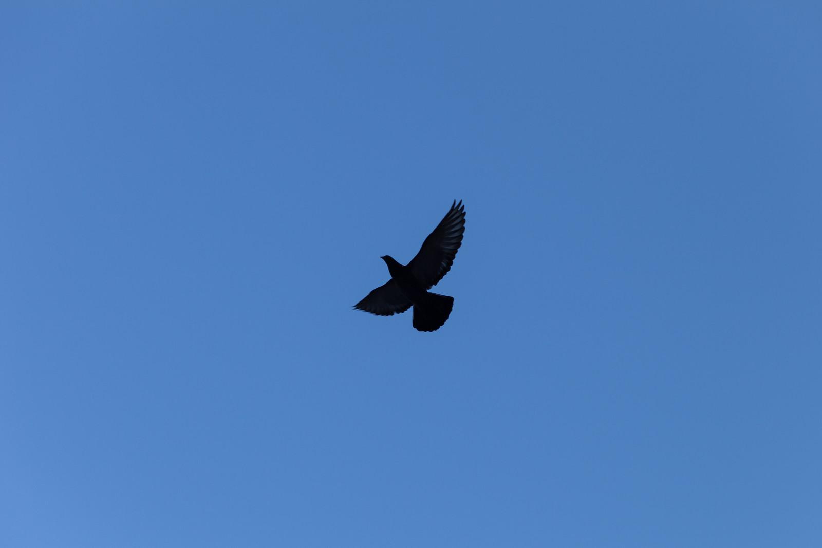 A Pigeon in Flight by wwward0