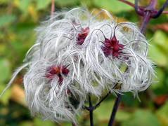 Traveller's Joy (Clematis vitalba) seeds