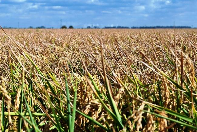 Las espigas de arroz se extienden como un manto sobre los campos anegados de La Puebla del Río, Sevilla