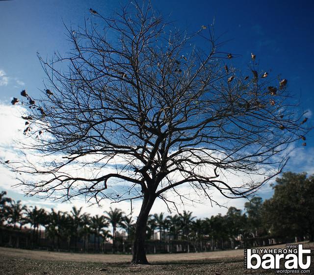 tree in bayanihan park angeles city pampanga