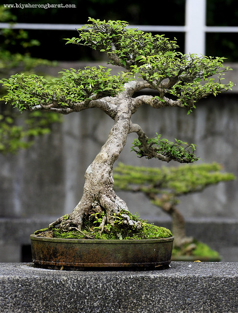 Bonsai Plant in Bonsai Garden Singapore Botanic