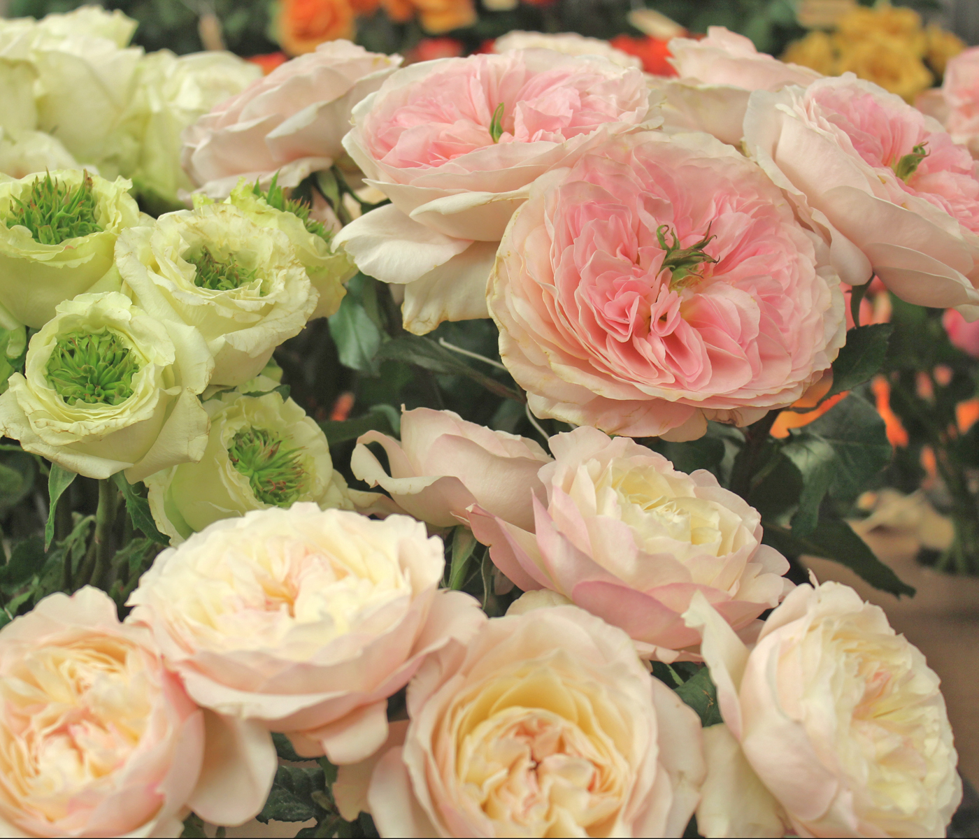 harvest-rose-9