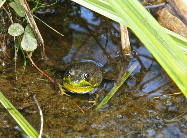 american bull frog 0017 Harriman park, NY, USA