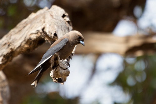 Dusky Woodswallow 2013-01-01 (_MG_9469)