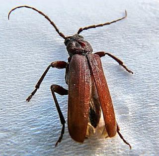 Arhopalus ferus Burnt-pine Longhorn Beetle