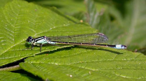 Blue-tailed Damselfly Ischnura elegans