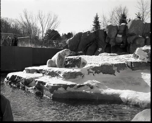 Polar Bear enjoying a brisk January 1 at Toronto Zoo