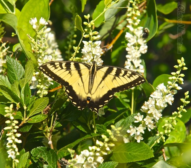 butterfly tiger swallowtail 0011 Harriman park, NY, USA