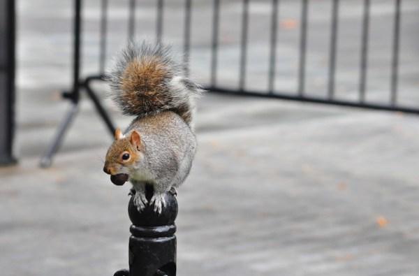 Squirrel in City Hall Park