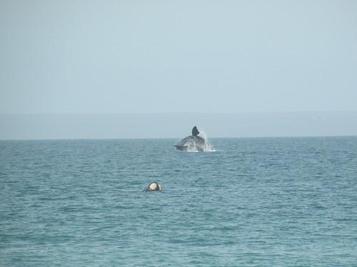 Whale breaching off of El Doradillo