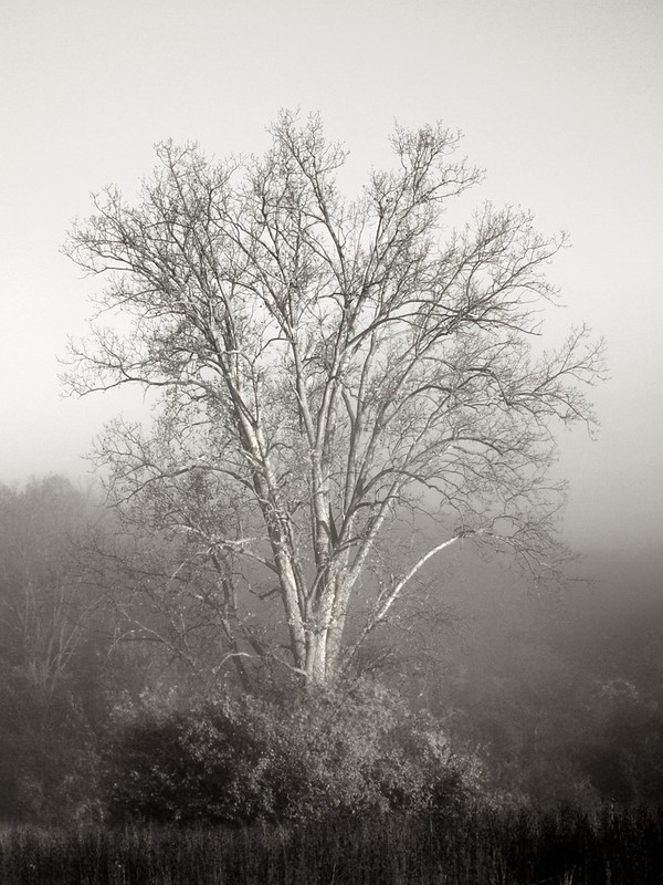 Morning tree in the fog