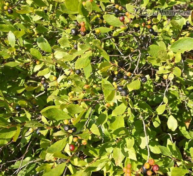 blueberry 0003 Harriman park, NY, USA
