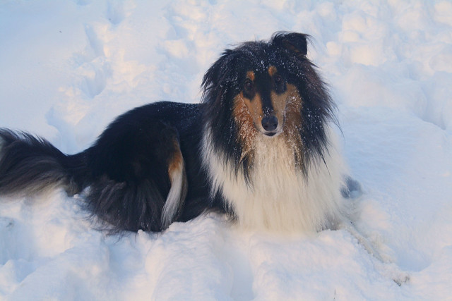 Collie snow portrait