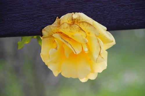 Rosa #DePaseoConLarri #Photography  5