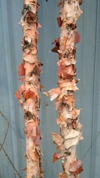 paper birch poles