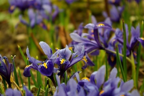 20130303-20_Baddesley Clinton - Dwarf Iris by gary.hadden