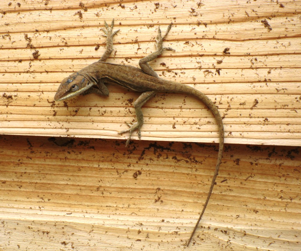 Lizard crawling on Wood Wall