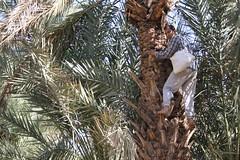 Fertilização de palmeira em Maadid
