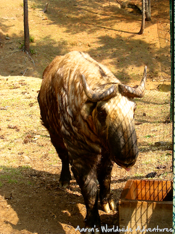Fully Grown Takin