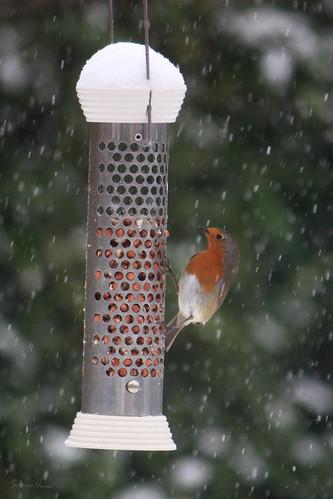 Robin on feeder