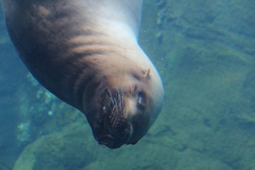 Sea Lions at the Zoo (3)