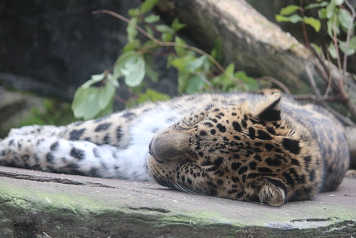 Leopard at the Zoo (3)