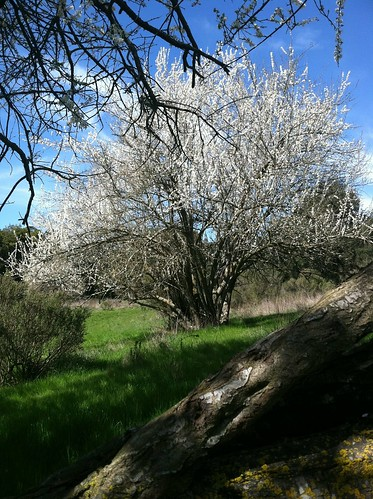 Grass valley trail plums