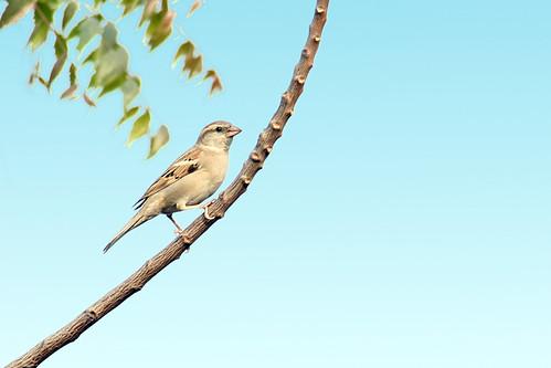 sparrow....3 by ShubhenduPhotography