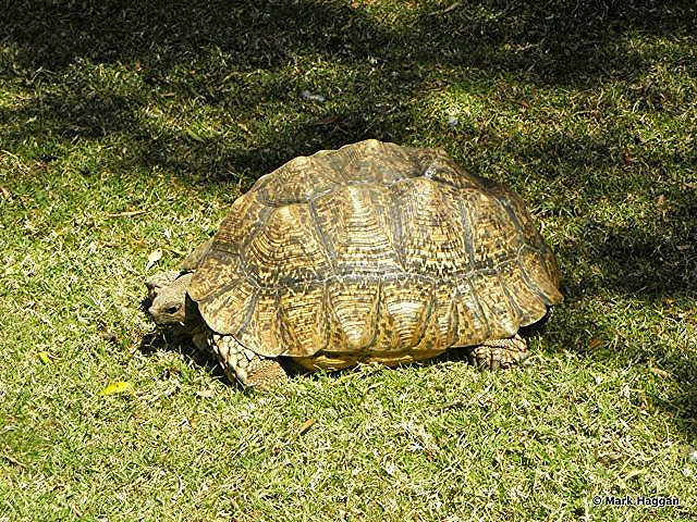 A giant tortoise in a garden in Addis Ababa