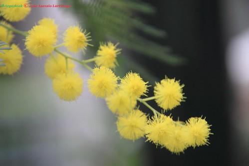 Mimosa #DePaseoConLarri #Photography 34
