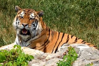 Amur Tiger Smiling