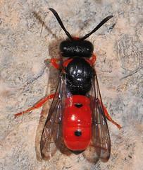 Beautiful Potter/Mason Wasp