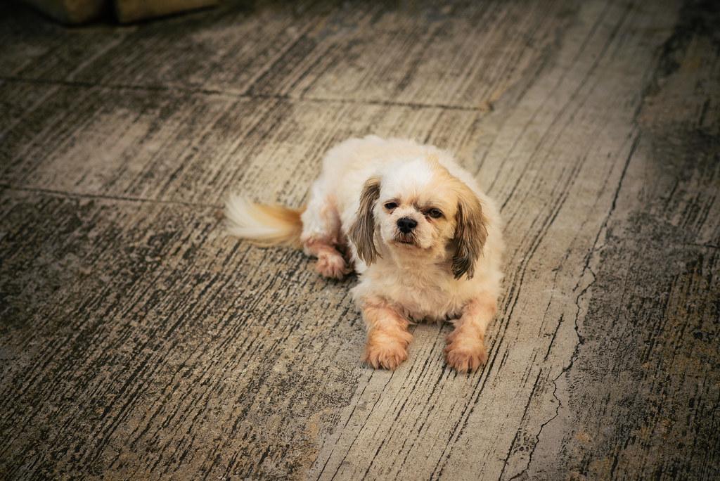 Tai O Dog