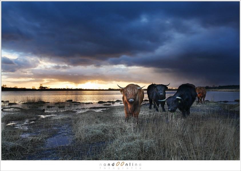 Schotse hooglanders voor de zonsondergang.